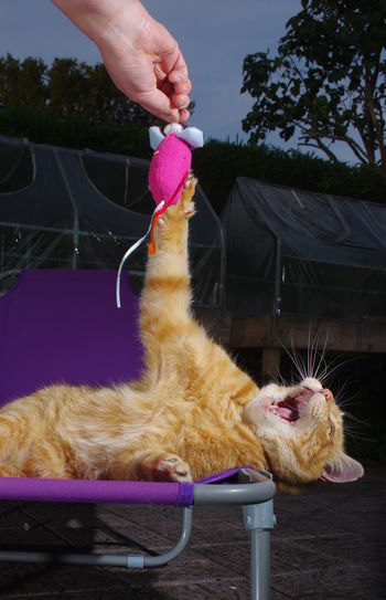 Touched by the hand of Cat Ginger Cat Human Hand One Animal One Person Outdoors Pets Toy Mouse