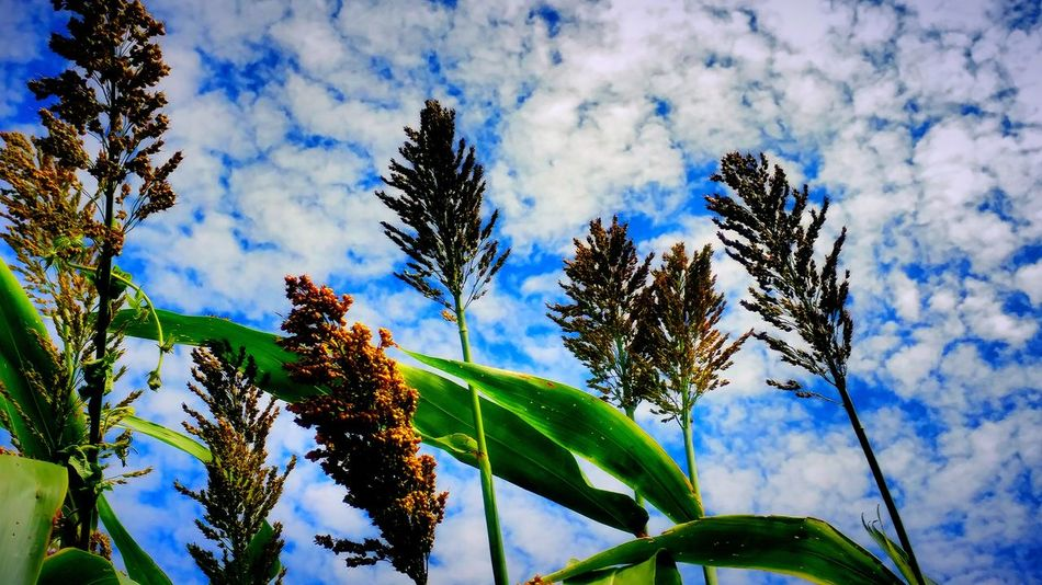 Sorghum Sky And Clouds Sorghum Field Clean Sky Freshness Growing Plants Beautiful Nature