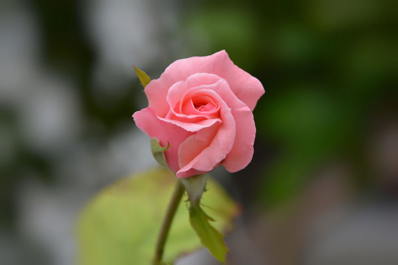 Beauty In Nature Close-up Flower Flower Head Freshness Nature Outdoors Petal Pink Color Rosé Rose - Flower Rose🌹