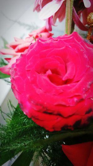 HTC_photography Htcshot HTCDesire820 Myclick💚 Eyeemphotography Mobilephotography Blooming Floralphotography Close-up Freshness RedRose🌹 FlowerofLove Rosebud NoEditNoFilter Picoftheday