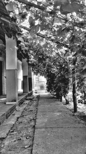 Architecture Black And White Blackandwhite Bnw Built Structure Court Day Diminishing Perspective Empty Footpath Grape Grapes Growth Home Is Where The Art Is Mission Narrow Nature No People Outdoors Pathway Plant The Way Forward Tree Vanishing Point Walkway Black And White Friday