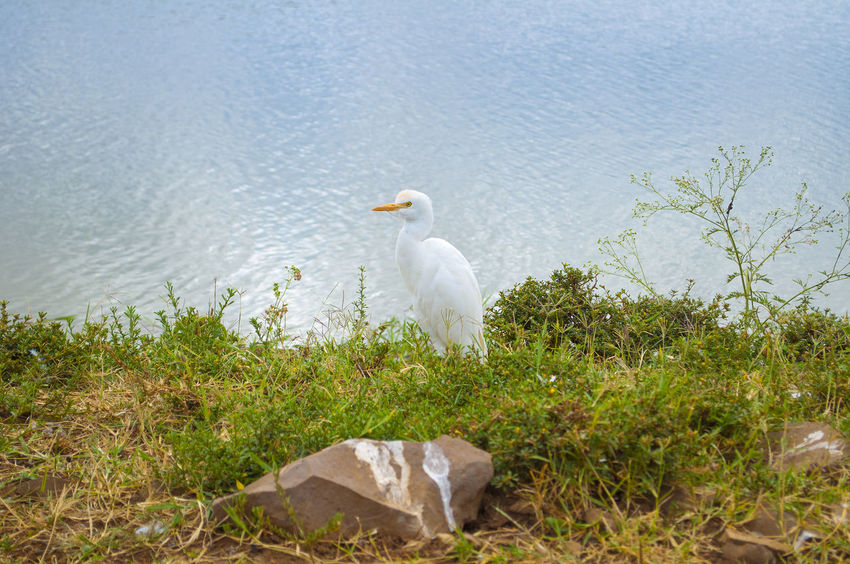 Cattle Egret Animal Themes Animal Wildlife Animals In The Wild Beauty In Nature Bird Cattle Egret Day Egret Nature No People One Animal Outdoors Perching Water White Color