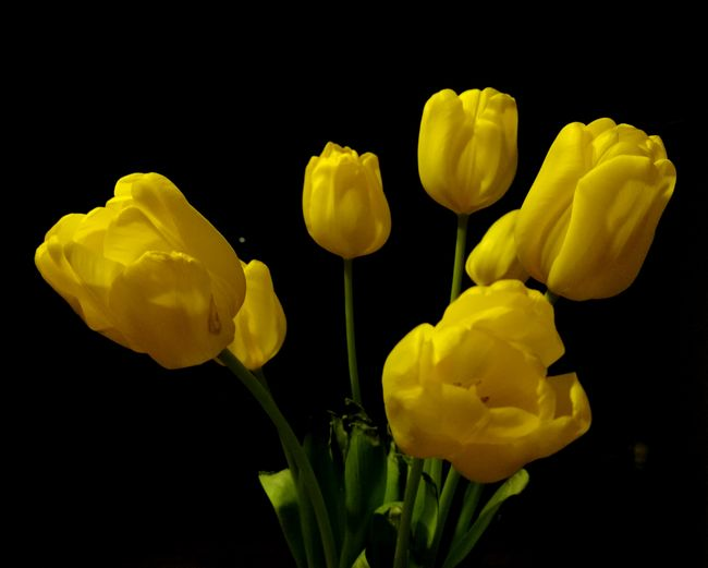 Yellow Flower Fragility Tulip Nature Flower Head No People Freshness Flowerporn Flowers,Plants & Garden Flower CollectionFreshness Black Background Darkroom Close-up Outdoors Yellow Flower Yellowtulips Light And Shadow Contrast Flowerbloom Spring Evening Lights EyeEmNewHere