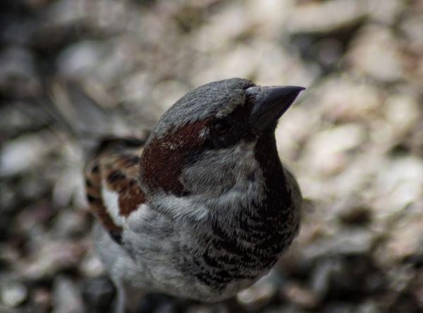 House Sparrow Niklas Storm Maj 2018 Bird Perching Close-up Songbird  Sparrow Animal Wing Beak