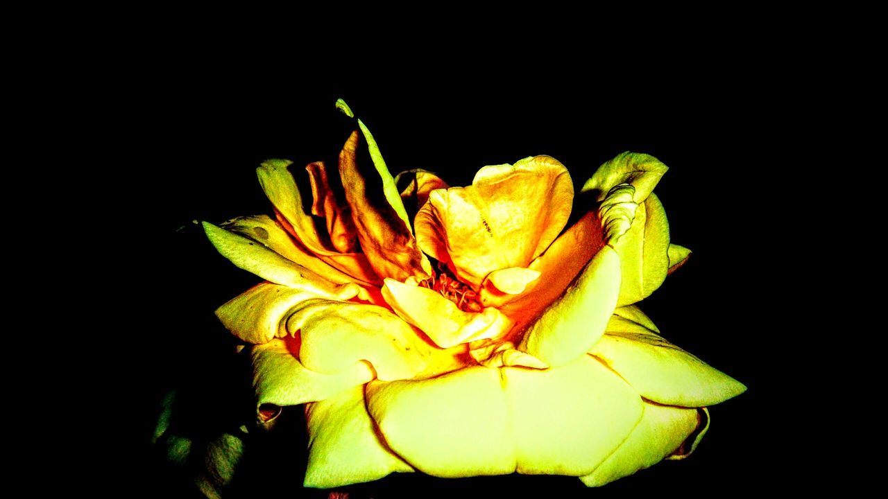 flower, petal, black background, flower head, freshness, fragility, beauty in nature, nature, studio shot, growth, plant, close-up, no people, rose - flower, yellow, night, blooming, outdoors
