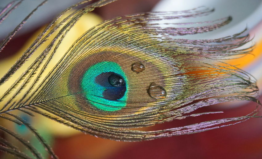 Close-up Animal Animal Themes One Animal Feather  Vertebrate Eye No People Body Part Focus On Foreground Indoors  Peacock Feather Animal Wildlife Natural Pattern Vulnerability  Animal Eye Animal Body Part Multi Colored Nature Green Color Animal Head  Softness