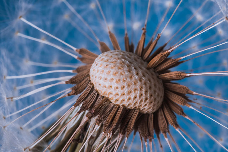Dandelion in blue Beauty In Nature Blue Close-up Day Detail Flower Flower Head Fragility Gently Macro Nature No People See Seeds Softness Studio Shot Summer Vibrant Color Water White