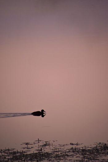 Duck silhouette swimming in the prokosko lake, bih