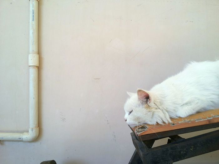 Close-up of white cat resting against wall