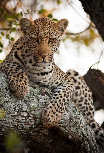 Ngala South Africa Young Leopard Tree Whiskers Blood
