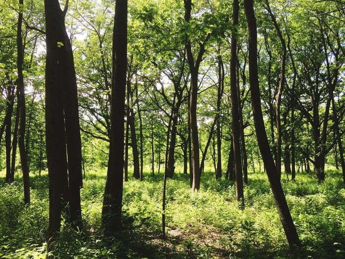 Peaceful Woodland Tree Nature Forest Tranquil Scene Beauty In Nature Tree Trunk Scenics Outdoors Growth Landscape Grass Tree Area Sky Sunlight Freshness WoodLand Herrick Lake Nature Reserve Green Color Greenery Quiet Wildlife Reserve Illinois Dense Idyllic