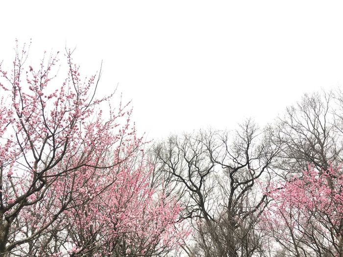 Tree Branch Springtime Nature Blossom Beauty In Nature No People Low Angle View Outdoors Tranquility Plum Blossom China Bare Tree Pink Color Pink Flowers Millennial Pink
