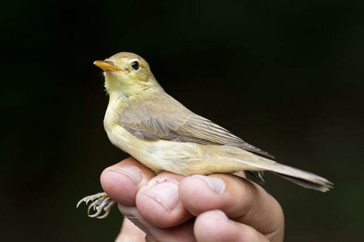 Close-up of hand holding bird against black background