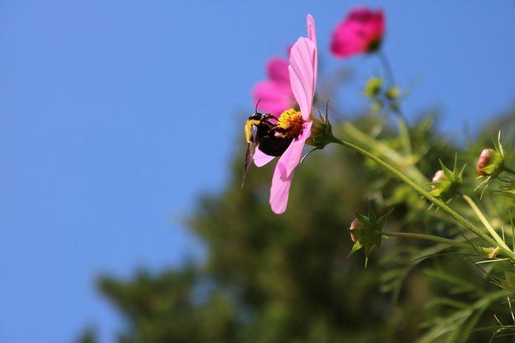 まんまるで可愛いやつ 秋桜 蜂 Autmun Sky