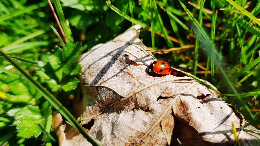 Leaf Ladybug