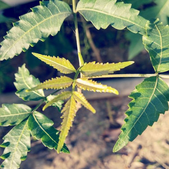 Neem Tree Neem Leaves EyeEmNewHere EyeEm Nature Lover Leaf Close-up Plant Green Color Leaf Vein Plant Life Maple Leaf