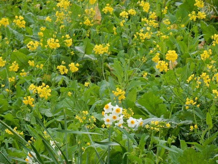 Nature Nature_collection Narcissus Rape Ehime 水仙 菜の花 暖冬 暖かすぎて花の時期が狂ってる(。>∀<。)