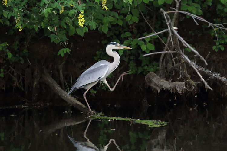 Grey heron dance Bird Hide Bird Photography Nature Photography Animal Themes Animal Wildlife Animals In The Wild Bird Bird Dancing Branch Egret Gray Heron Great Egret Grey Heron  Grey Heron On The River Shore Heron Misterious Nature No People One Animal Outdoors Perching Plant Tree Water Water Reflection
