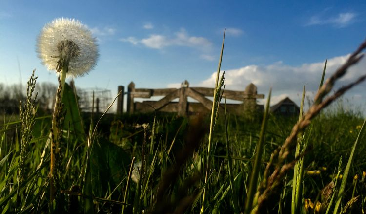 Beauty In Nature Close-up Dandelion Farmersfence Field Flower Focus On Foreground Fragility Grass Landscape