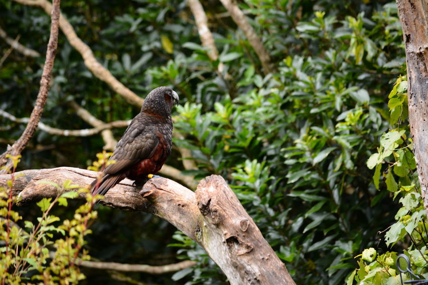 Native Birds New Zealand Kaka North Island Kaka Wildlife Photography Zealandia Kaka Parrot Large Parrots Nature Ornithology  Parrots Parrots On Tree Wildlife