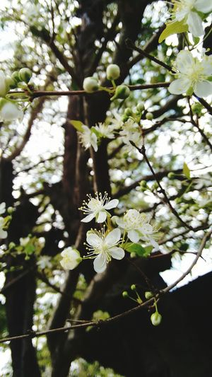 Flower White Branch Flower Nature No People Day Outdoors Fragility Tree Beauty In Nature Flower Head Close-up Leaf