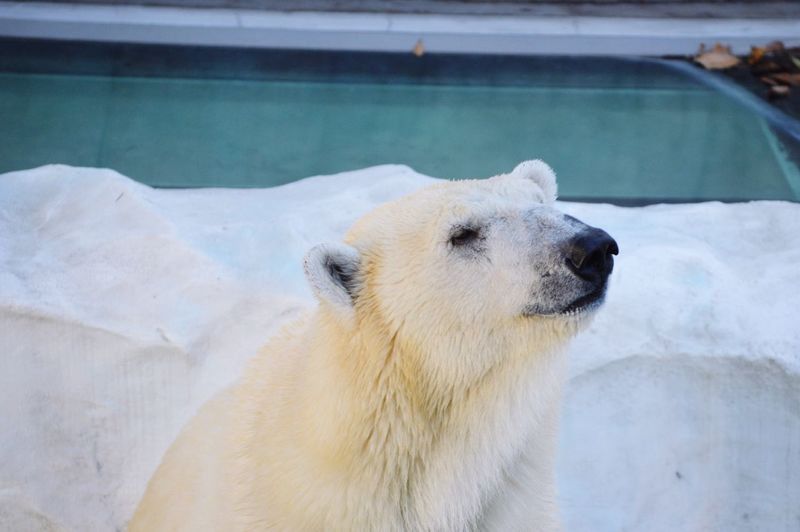 Polar Bear Oso Polar