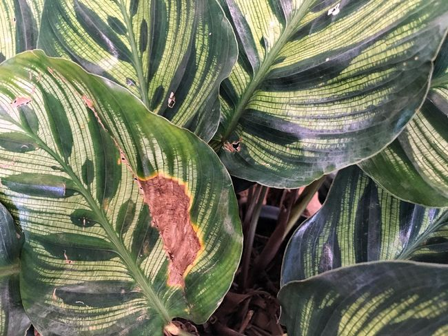 Leaf Growth Nature Green Color Plant Day Outdoors No People Close-up Full Frame Beauty In Nature Freshness Calathea Textured  EyeEmNewHere The Week On EyeEm