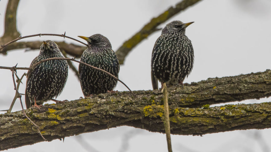 Low angle view of starlings perching on branch