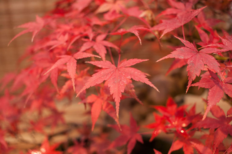 Autumn Beauty In Nature Bonsai Bonsai Tree Change Close-up Day Focus On Foreground Growth Leaf Leaves Maple Maple Leaf Maple Tree Nature No People Red Tree