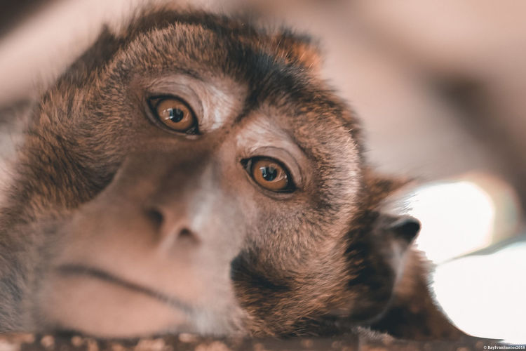 kuku Baboon Portrait Ape Headshot Primate Close-up