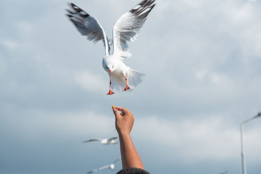 seagulls in action is flying on the sky with cloud,It is hovering food in hands Vertebrate Flying Bird Spread Wings Animal Themes Animal Sky Animal Wildlife Animals In The Wild Seagull Cloud - Sky Motion Day Human Body Part Nature Human Hand One Animal Hand One Person Mid-air Outdoors Human Limb
