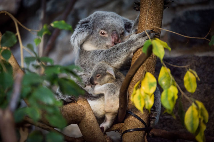 Close-up of koala with joey sitting on tree branch