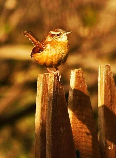 Wren Backyard Birder Carolina Wren Birdporn Bird Photography Birds🐦⛅ Eyem Birds Birdwatching Urban Birds Bird Watching
