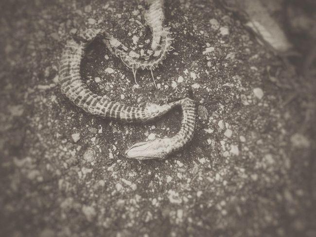 Someone killed a Blacksnake