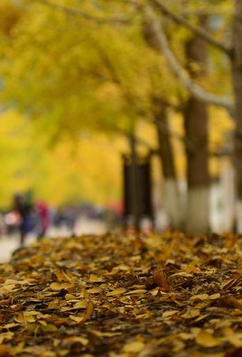 黄杏知秋 Autumn Tree Change Selective Focus Plant Part Yellow EyeEmNewHere