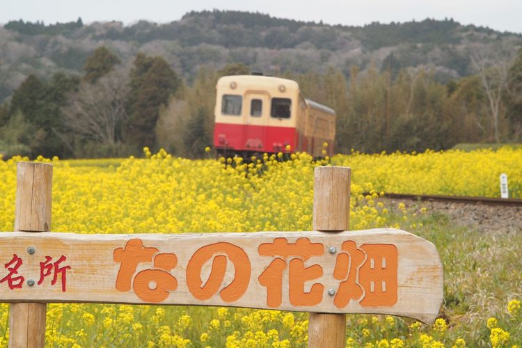 小湊鉄道 菜の花畑 春の日 Canola Flowers Canola Field Train Springtime Landscape From My Point Of View Capture The Moment Taking Photos