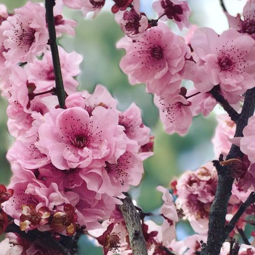 Close up with Beautiful cherry blossom in Japanese garden. Thebestseller The Best Of Eyeem Flower Growth Beauty In Nature Nature Pink Color Fragility Petal No People Plant Close-up Freshness Branch Outdoors Day Blooming Flower Head Tree
