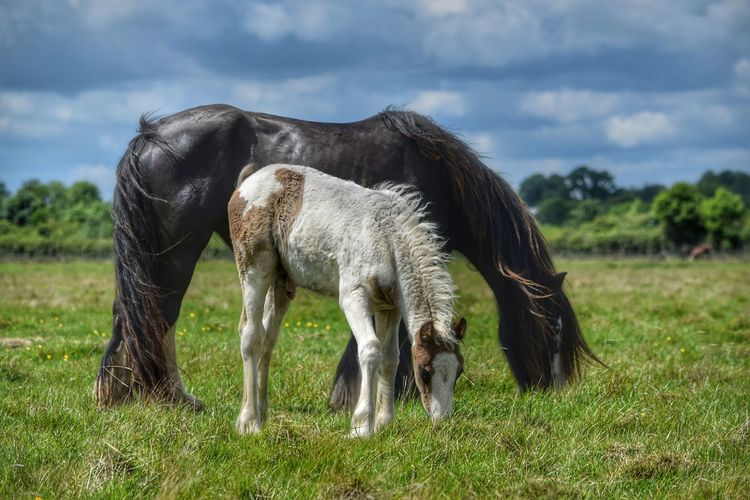 Mare And Foal Horse Animals In The Wild Grass Animal Nature No People Day Outdoors Animal Themes Animal Wildlife Rural Scene Sky Field Livestock Equestrian Pony Live For The Story Beauty In Nature Green Color Two Grazing Grass Horses New Born Pet Portraits
