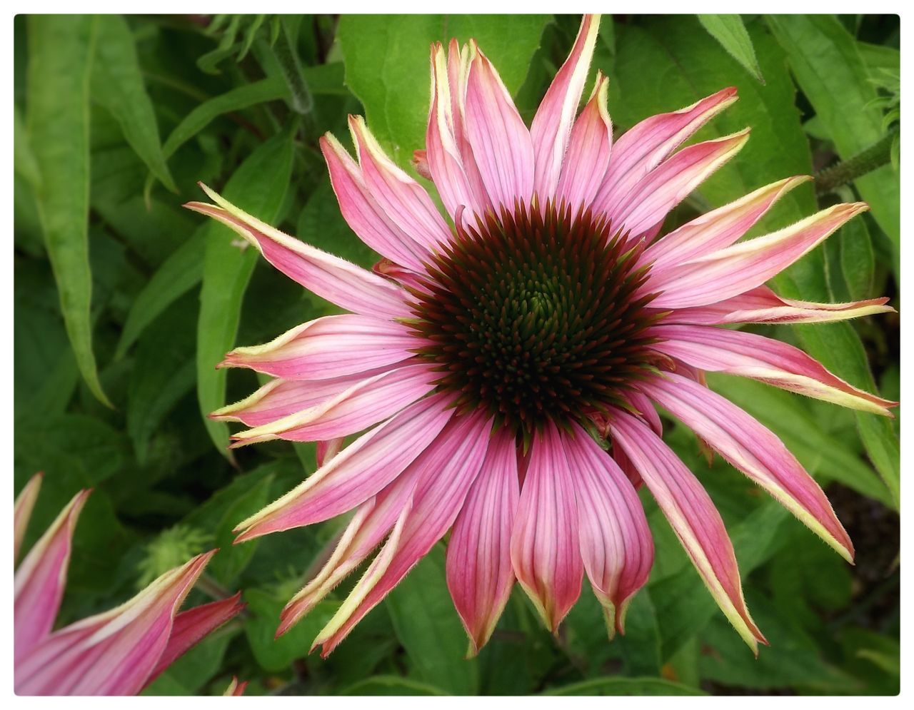 flower, growth, fragility, petal, freshness, nature, plant, flower head, beauty in nature, blooming, outdoors, no people, day, close-up, eastern purple coneflower