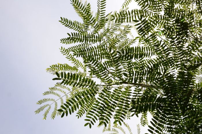 Leucaena leucocephala plant in nature garden Acacia Tree Freshness Green Herb Leucaena Leucocephala Plant Beauty In Nature Branch Close-up Day Foliage Freshness Growth Herbal Leadtree Leaf Leaves Limb Nature No People Outdoors White Popinac
