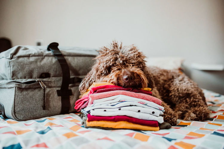 Dog sleeping by luggage on bed at home