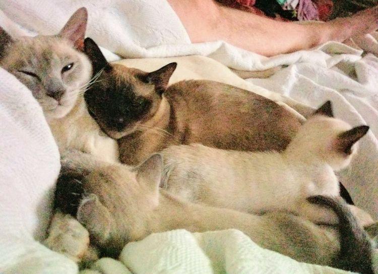 EyeEm Selects Pets Bed Bedroom Feline Portrait Domestic Cat Sheet Lying Down Close-up