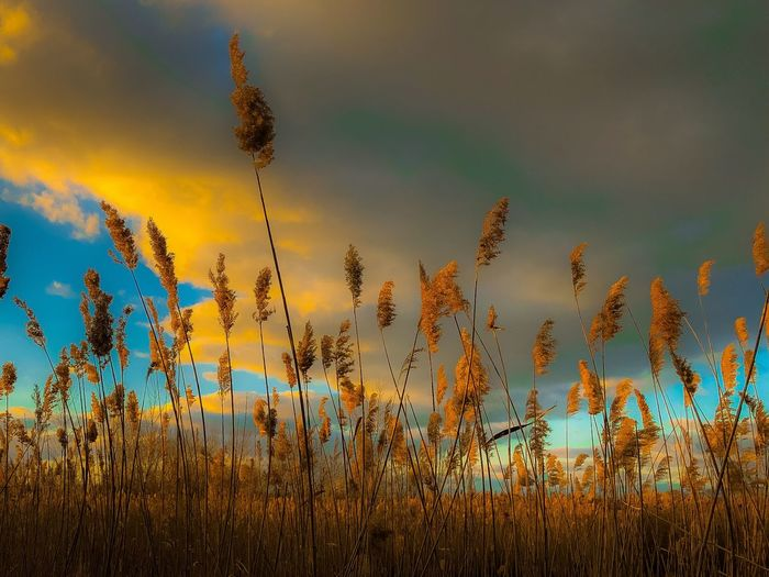 Low angle view of tall grass on field against sky