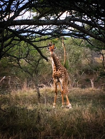 Baby Giraffe Curious Should I Stay Or Should I Go? Nature's Patterns Trees Leaves Grass