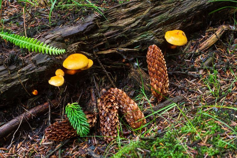 Pine Cone Mushroom Cringle Plantation Land Nature Plant No People High Angle View Day Growth Field Outdoors Green Color Wood - Material Tree Sunlight Beauty In Nature Close-up Plant Part Tranquility Yellow Leaf Autumn Mood