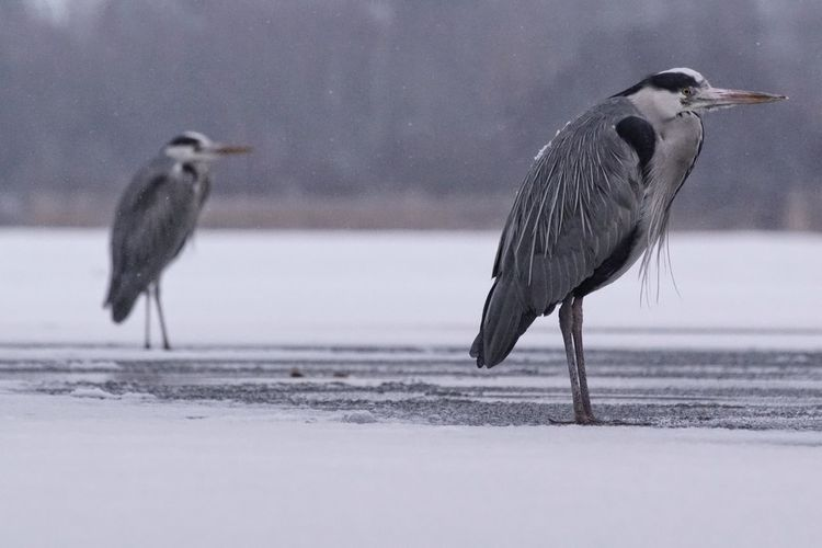 Grey heron 8/8 Heron Grey Heron  Showcase February 2018 Niklas Februari 2018 Bird Animal Wildlife Animals In The Wild Snow Winter Cold Temperature Animal Ice Snowing Nature Outdoors No People Frozen Day Full Length Animal Themes