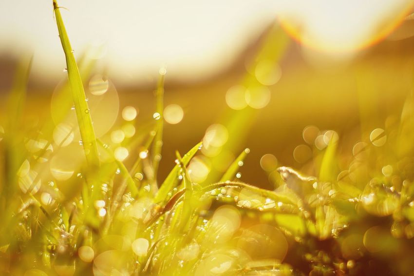 Capture The Moment Shine Bright Beauty In Nature Yellow Drop Dew Kira✨kira✨ Grass Macro Fantasy Bokeh Photography Growth Green Color Nature Wet Low Angle View My Point Of View Fragility Fine Art Tranquil SceneMacro Sunlight Detail Oldlens EyeEm Best Shots 16_11