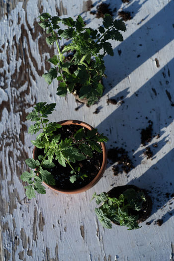 table top view of gardening or potting bench with young tomato plants, clay pot, garden basket Gardening Mojave Desert Nature On Your Doorstep Growing Plants Potted Plant Tomato Plant Tomato Plants Vegetable Garden Vegetable Plant