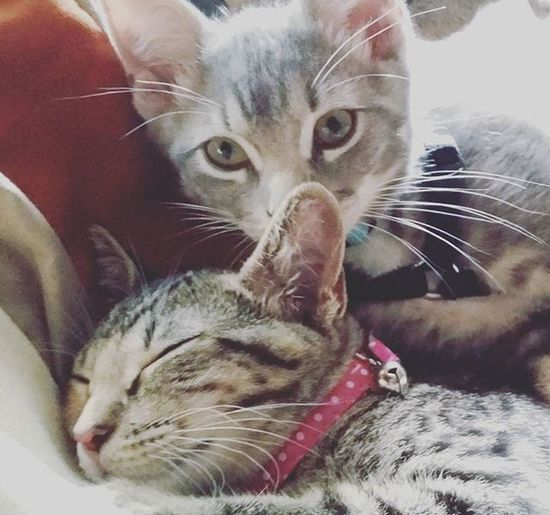 Siblinglove Kittylove Catsofinstagram Prettykitty Cutekitty Catstagram Kittens Happykitty Photooftheday Lovemykitty @sasha_and_q