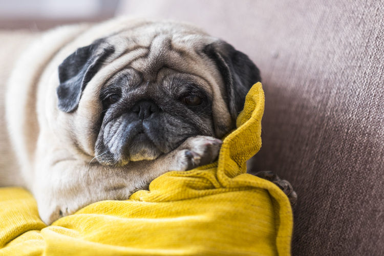 Funny pug sleeping on the couch at home - lazy concept for lovely dog and best friend One Animal Canine Animal Themes Dog Animal Domestic Pets Domestic Animals Lap Dog Mammal Pug Small Vertebrate Indoors  Relaxation Furniture Young Animal No People Animal Body Part Lying Down Purebred Dog Animal Head  Lazy Relaxing Moments Pillow Yellow Sleeping